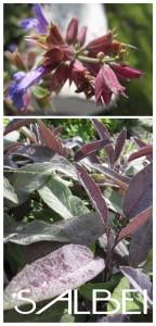 Gartenimpressionen1-Salbei