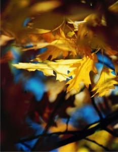 Eichenlaub-gelb